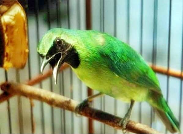 8 Manfaat Ulat Hongkong Pada Burung Cucak Hijau