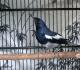8 Manfaat Mandi Malam Pada Burung Kacer