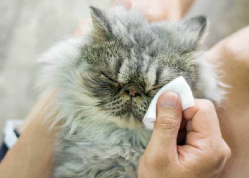 8 Cara Menghilangkan Selaput Pada Mata Kucing