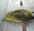 12 Cara Mengobati Burung Pilek