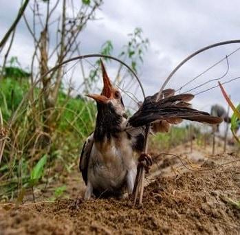 12 Cara Mengobati Burung Pancingan