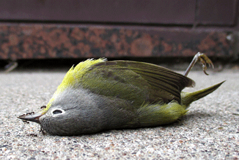 4 Jenis Penyakit pada Burung Cucak Ijo