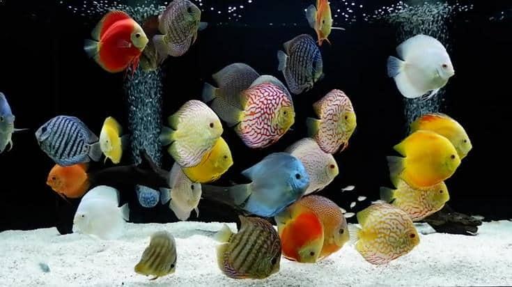 12 Cara Merawat Ikan Discus Bagi Pemula