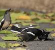 7 Penyakit Kaki pada Burung Kacer