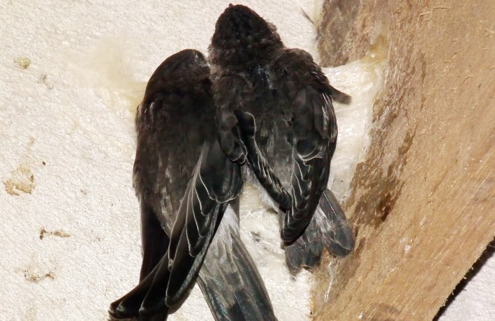 5 Jenis Penyakit pada Burung Walet