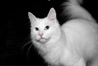 17 Manfaat Vaksin Kucing untuk Kesehatannya