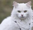 17 Tanda Birahi Pada Kucing – Wajib Tahu