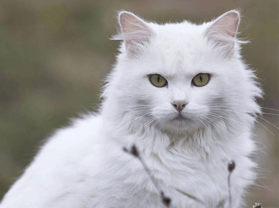 15 Ciri ciri Kucing Berhasil Kawin dan Hamil