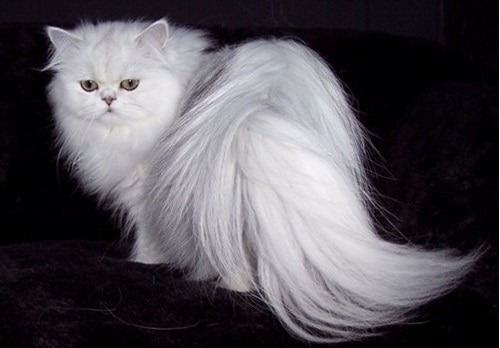 12 Ciri-Ciri Kucing Anggora Asli Yang Wajib Kamu Ketahui