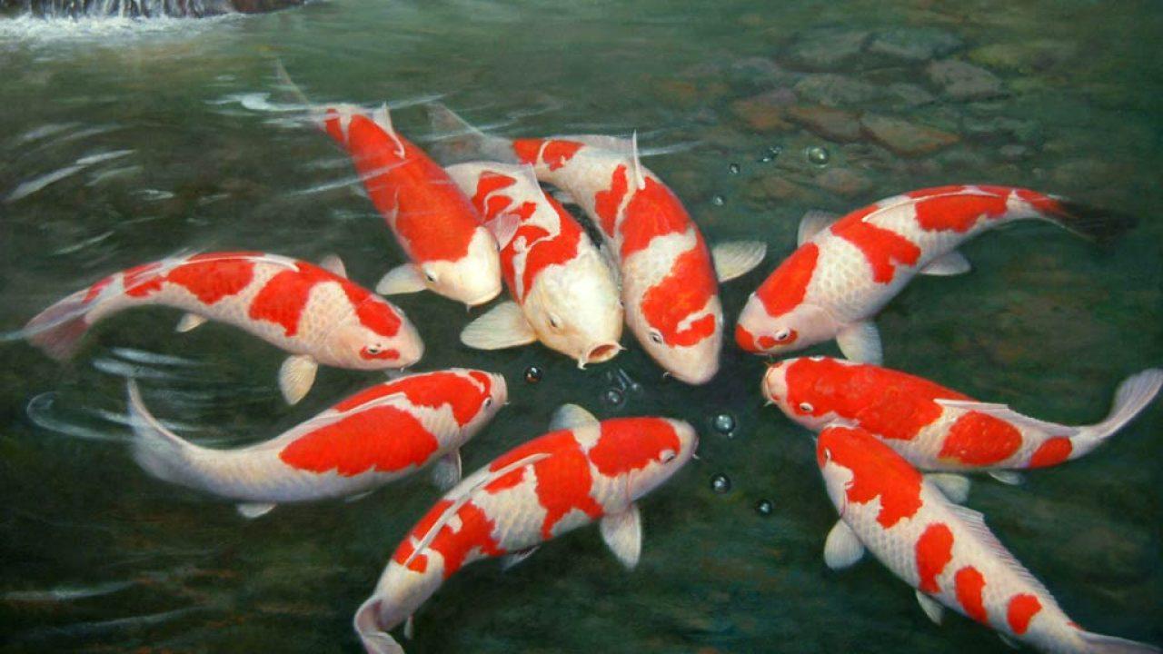 13 Cara Memelihara Ikan Koi Di Kolam Rumah Arenahewan Com