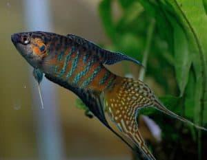 20 Jenis Jenis Ikan Hias Air Tawar Yang Mudah Dipelihara
