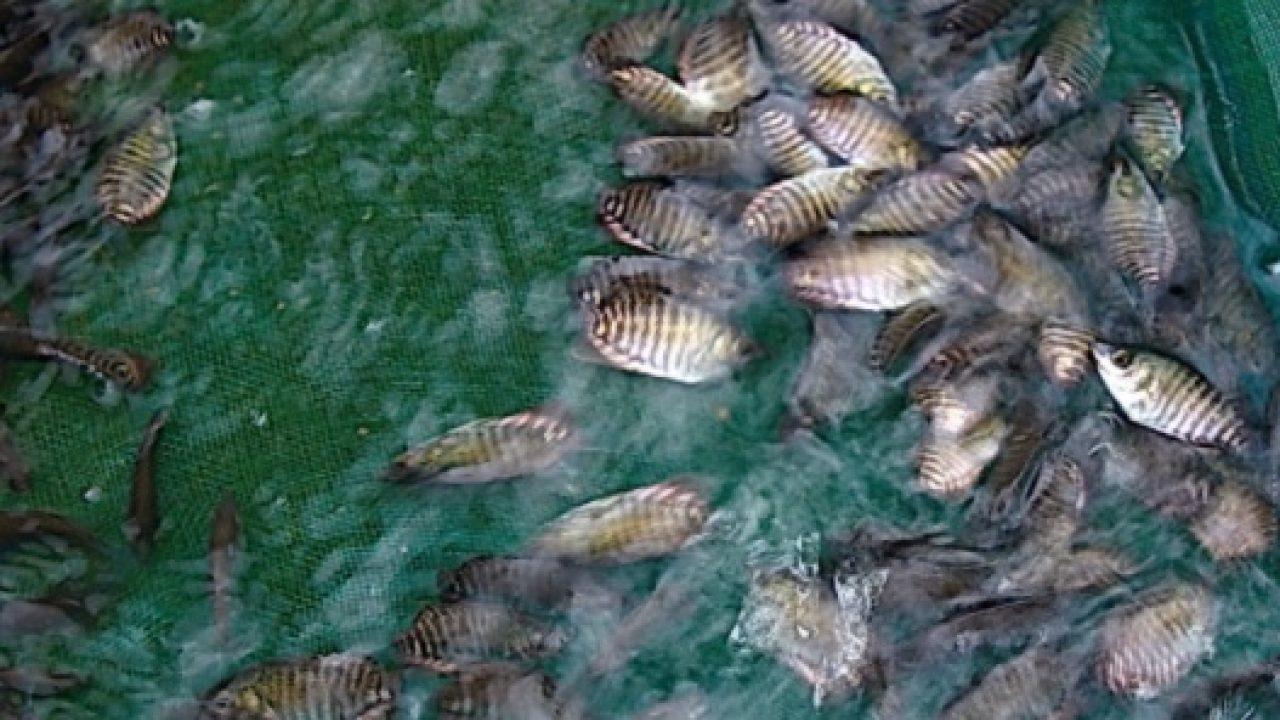 Pengaruh Air Hujan Terhadap Ikan Nila