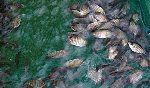 15 Budidaya Ikan Gurame di Kolam Terpal agar Berkembang Pesat