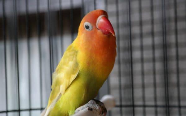 15 Cara Mengobati Snot pada Lovebird Mudah