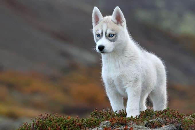 15 Cara Merawat Siberian Husky Puppies bagi Pemula