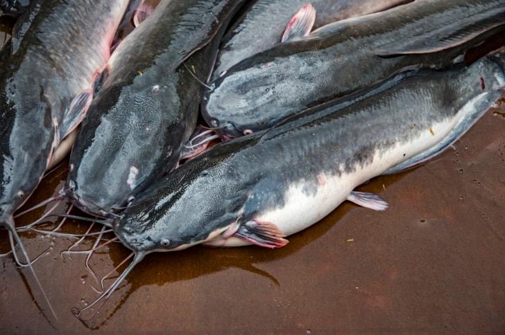 13 Cara Ternak Ikan Lele Organik Bagi Pemula