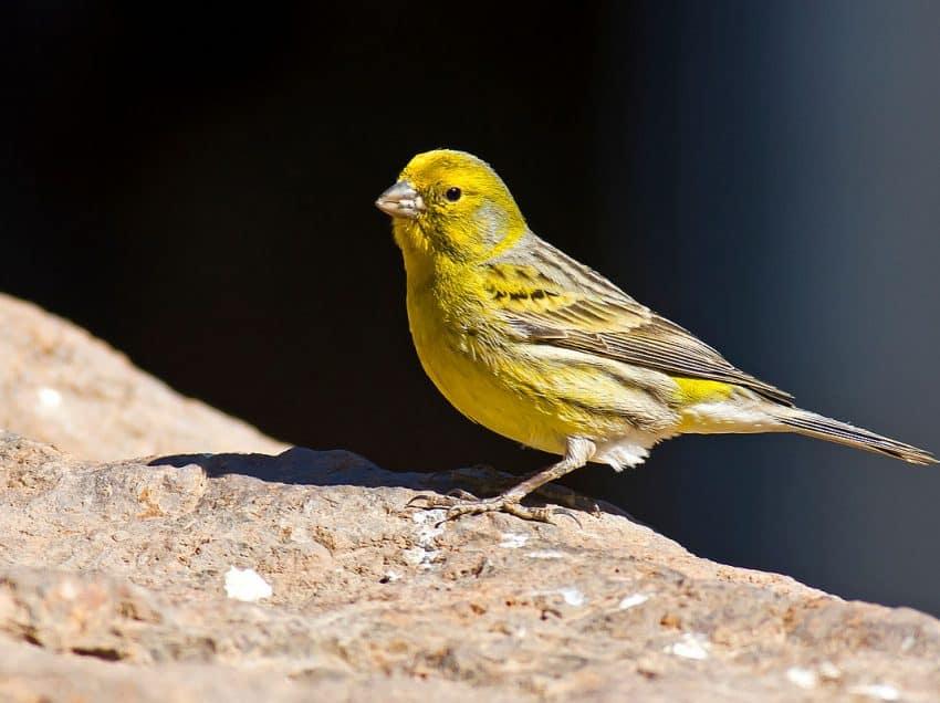 17 Cara Menurunkan Birahi Burung Kenari dengan Cepat