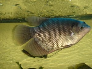 Budidaya Ikan Gurame Di Kolam Beton Berkualitas Arenahewan Com