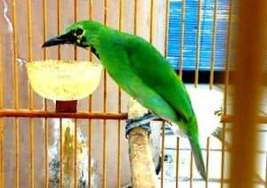 Cucak ijo merupakan pilihan yang sangat baik bagi anda yang senang dengan suara burung uni 14 Cara Ternak Cucak Ijo di Rumah