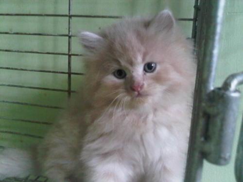 15 Cara Merawat Anak Kucing Anggora Umur 1-3 Bulan