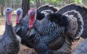 41 Koleksi Gambar Hewan Ayam Kalkun HD