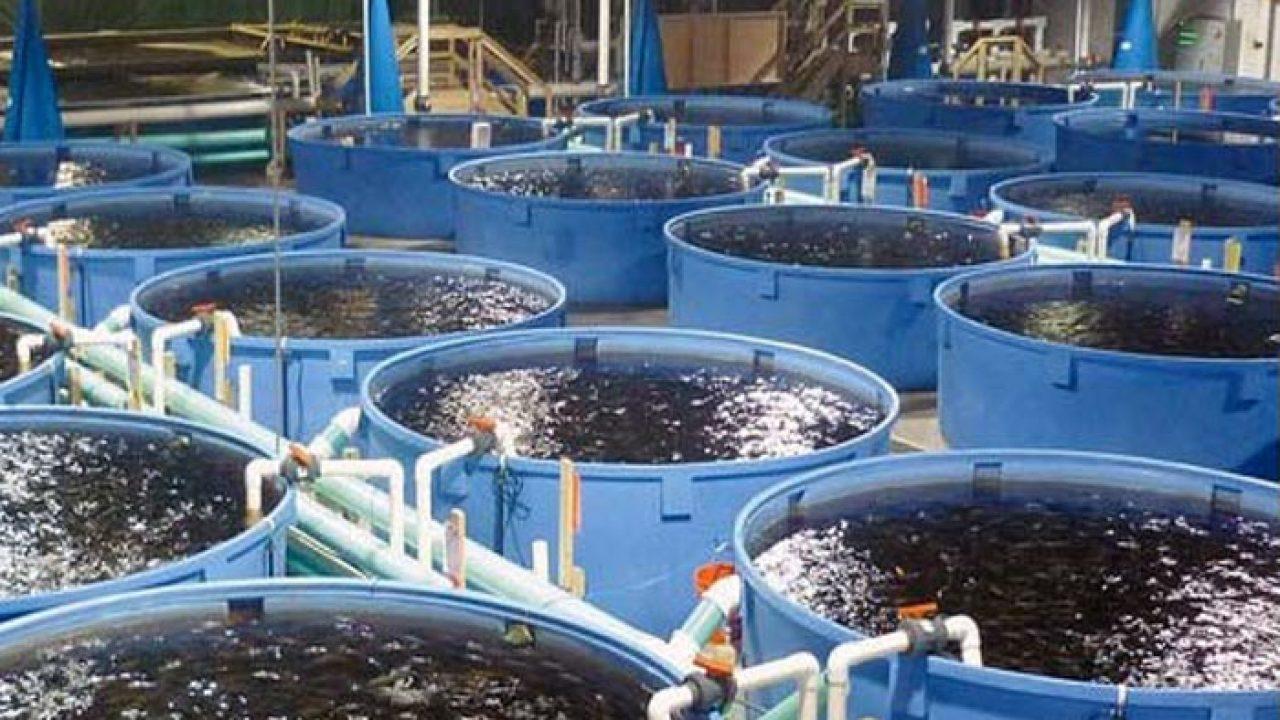 15 Cara Budidaya Ikan Nila Dalam Drum Plastik Arenahewan Com