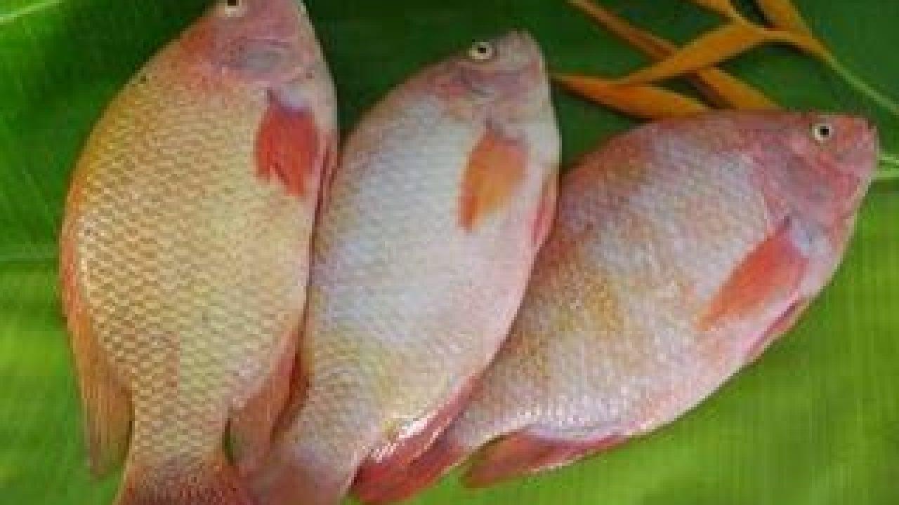 Unduh 660 Gambar Ikan Nila Hias HD Terbaru