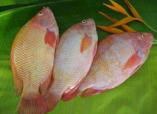 17 Cara Budidaya Ikan Nila di Kolam Terpal - ArenaHewan.com