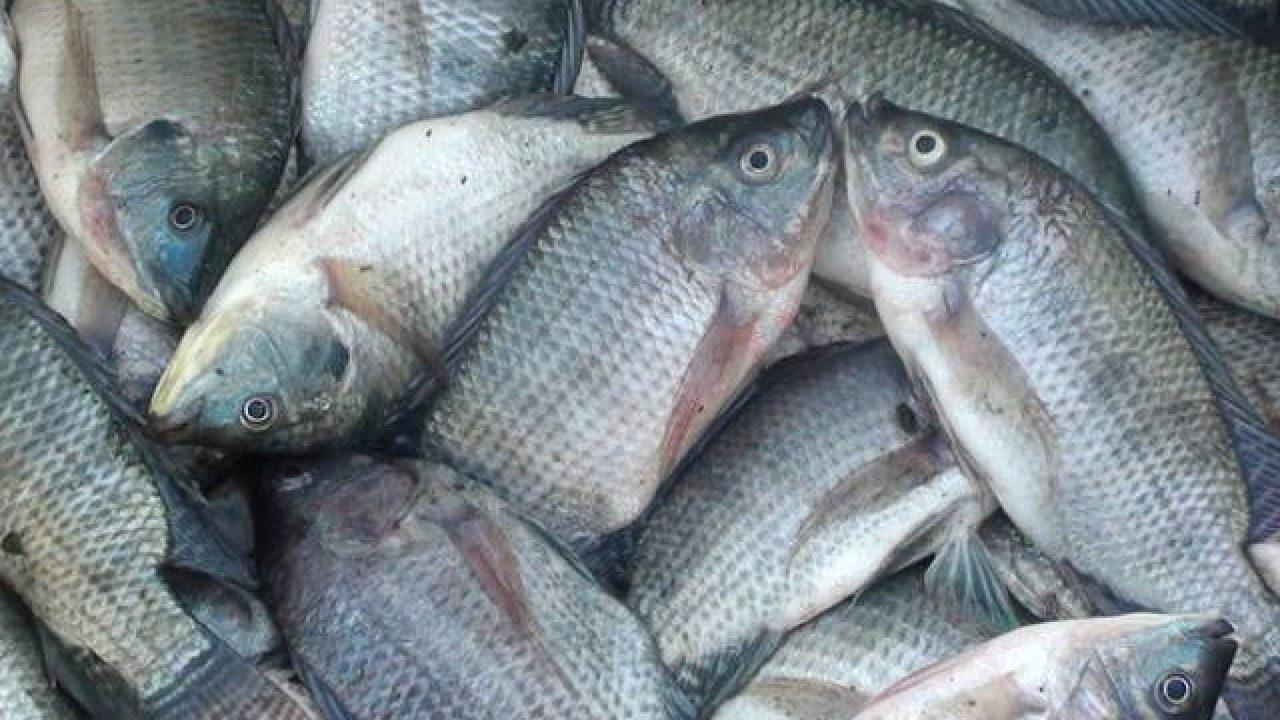 17 Cara Budidaya Ikan Air Tawar Cepat Panen - ArenaHewan.com