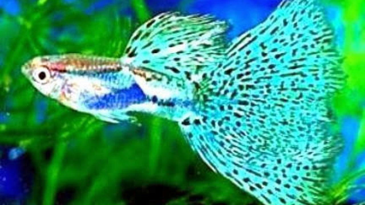 6 Langkah Budidaya Ikan Guppy Mudah Menguntungkan Arenahewan Com