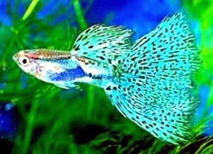 6 Langkah Budidaya Ikan Guppy Mudah Menguntungkan