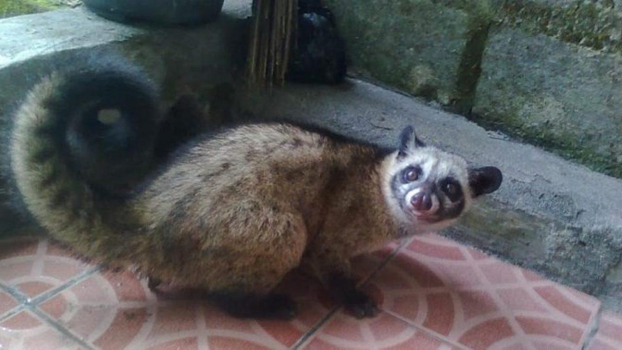10 Cara Menjinakkan Musang Pandan Umur 7 Bulan Arenahewan Com