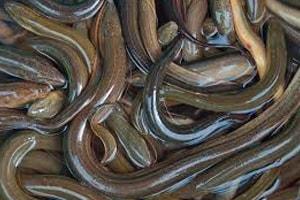 15 Cara Budidaya Ikan Belut Bagi Pemula