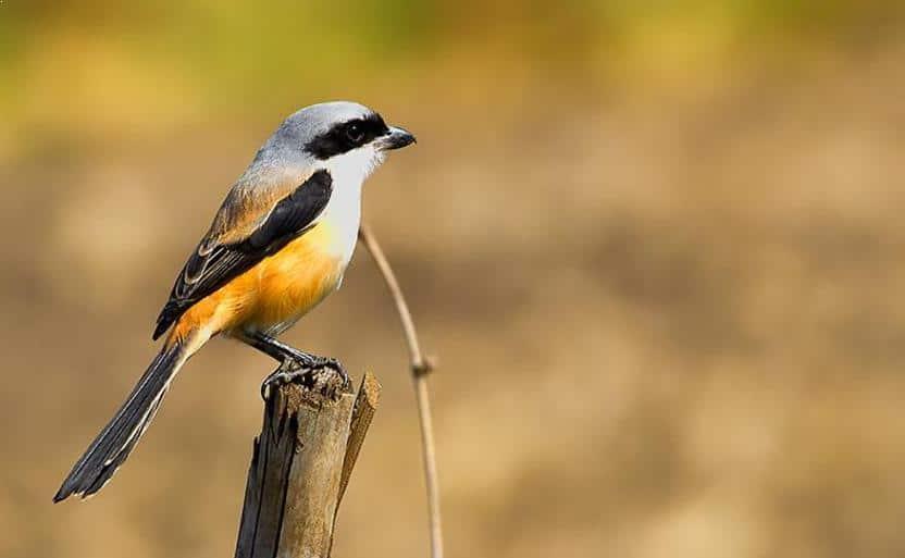 13 Cara Memelihara Burung Pentet Agar Gacor Bagi Pemula