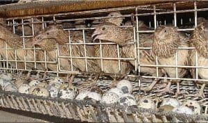 13 Cara Memelihara Burung Puyuh Di Rumah Arenahewan Com