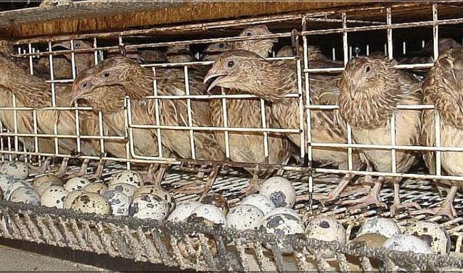 13Cara Memelihara Burung Puyuh Di Rumah