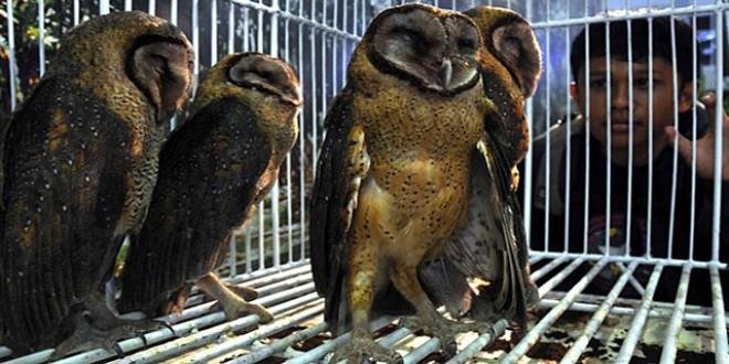 12Cara Memelihara Burung Hantu Di Rumah
