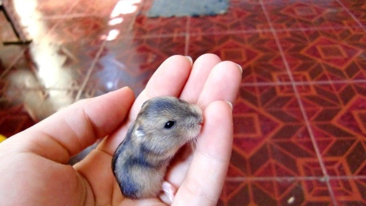 17 Cara Merawat Bayi Hamster Yang Benar Bagi Pemula Arenahewan Com