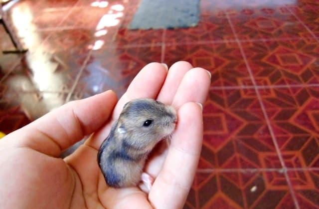 17 Cara Merawat Bayi Hamster yang Benar Bagi Pemula