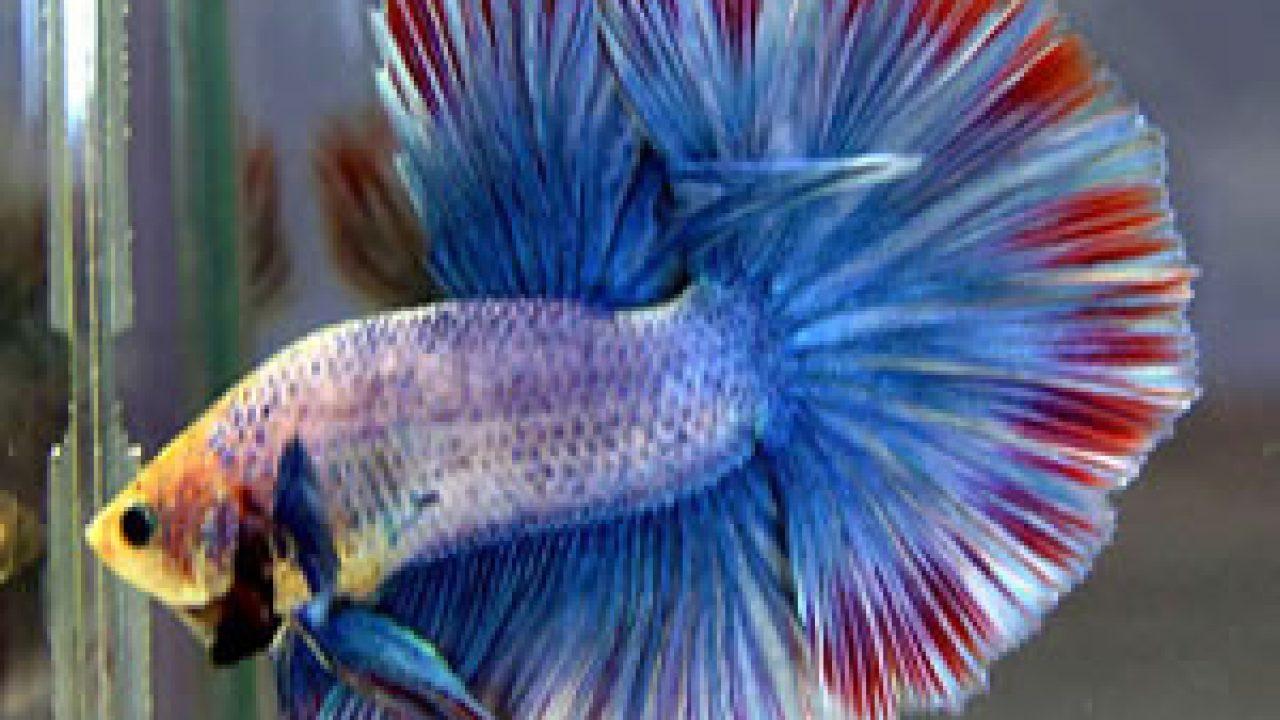 Gambar Ikan Cupang Koi Emerald - Gambar Ikan HD