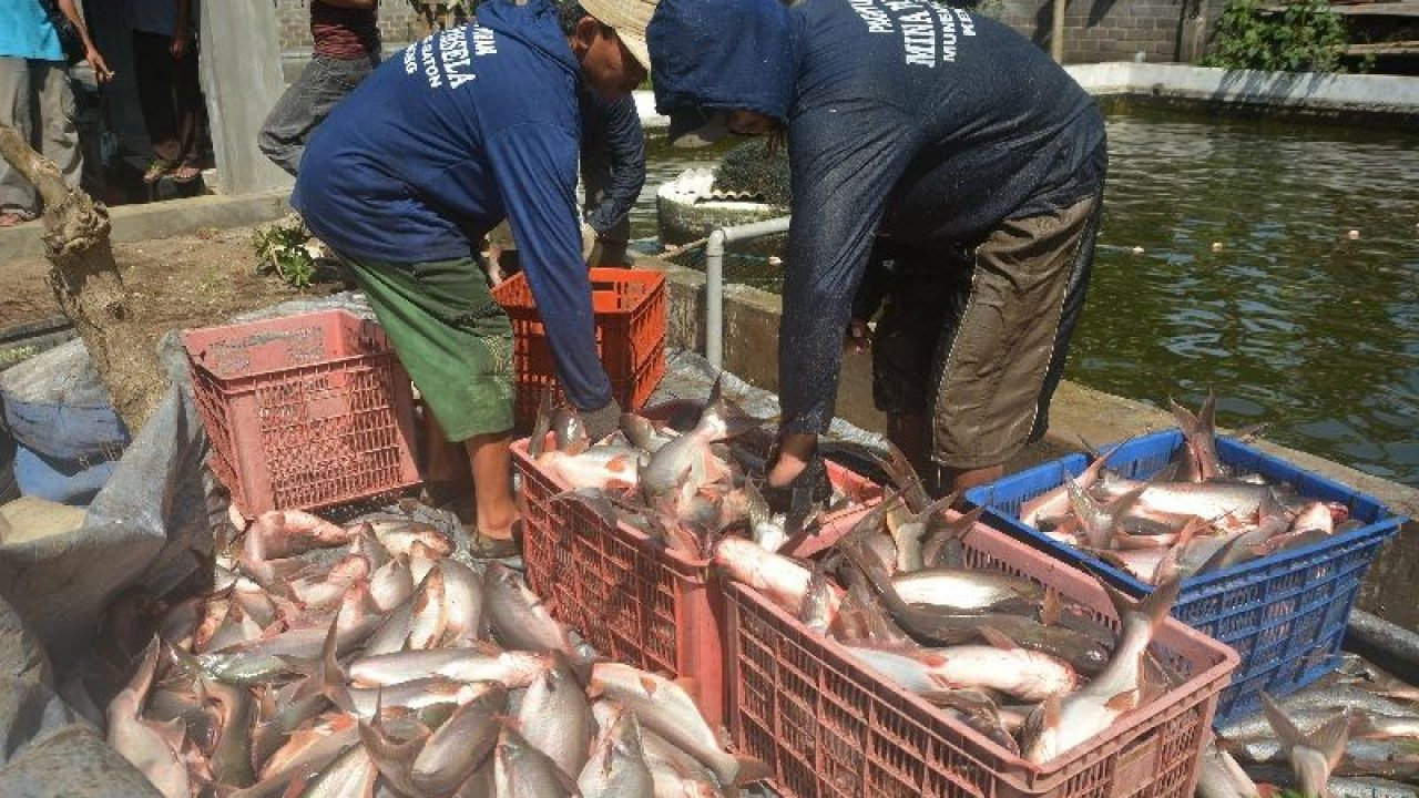 Masa Panen Ikan Patin Kolam Terpal Yang Benar Arenahewan Com