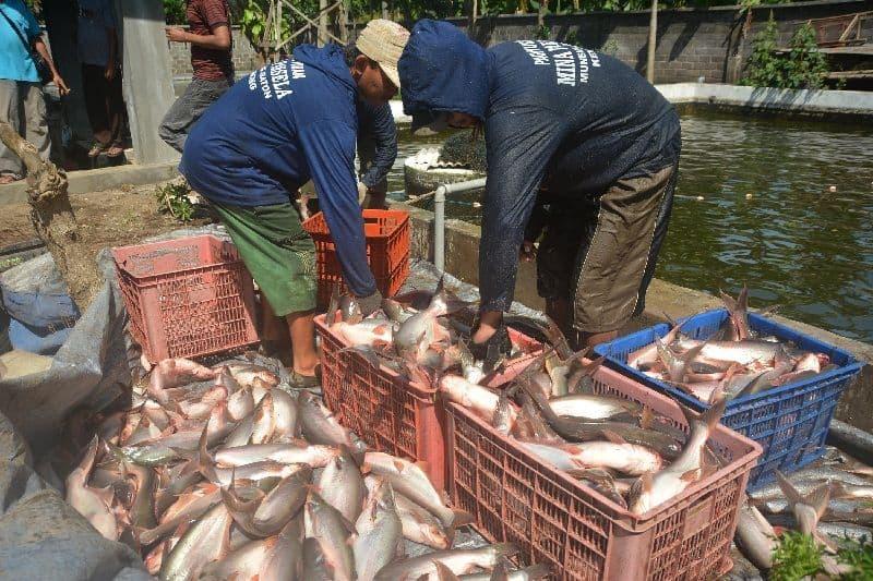 Masa Panen Ikan Patin Kolam Terpal yang Benar