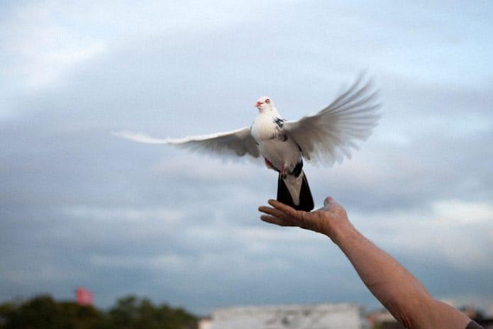13 Cara Merawat Burung Dara di Musim Hujan