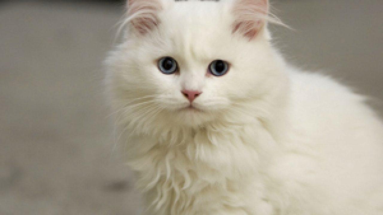 Download 76+  Gambar Kucing Persia Warna Putih Lucu