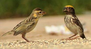 58+ Foto Gambar Burung Flamboyan Jantan  Terbaru