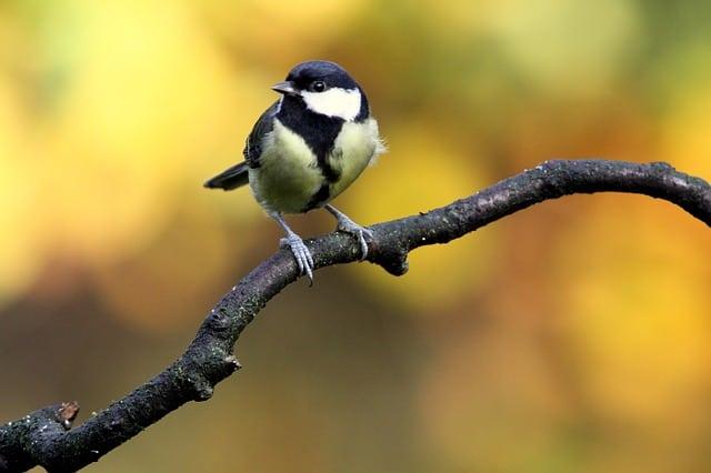 13 Cara Mengatasi Burung Gelatik Mabung Paling Lengkap