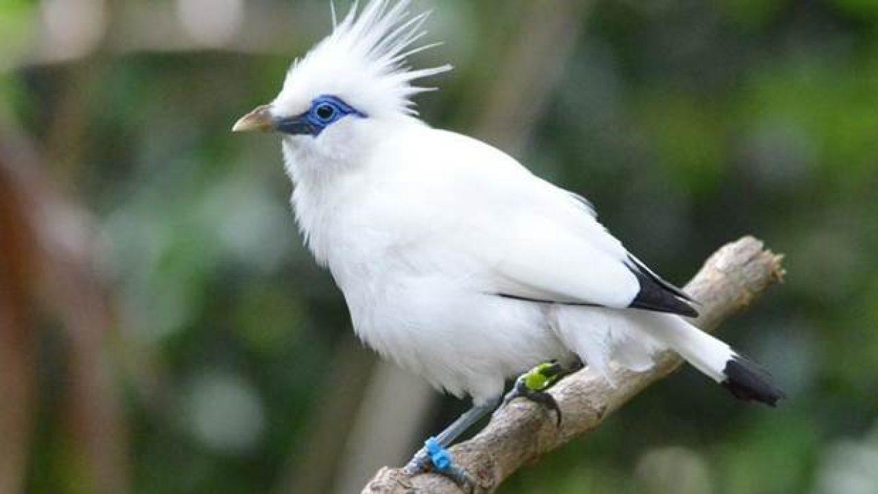 13 Cara Penangkaran Burung Jalak Bali Arenahewan Com