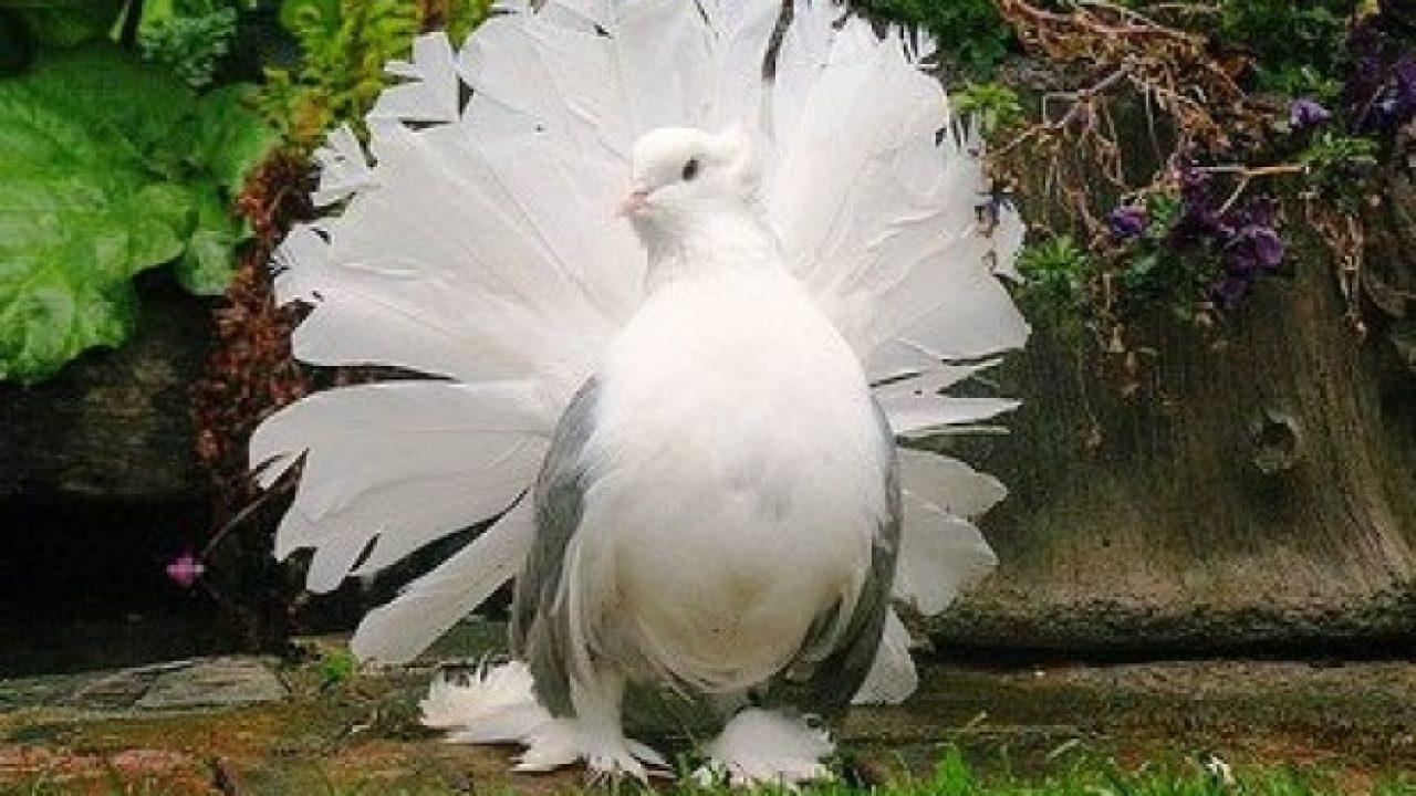 720+  Gambar Burung Merpati Bertelur HD