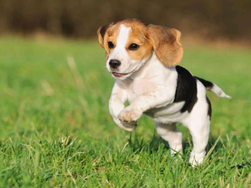 13 Cara Merawat Anjing Beagle Dengan Baik