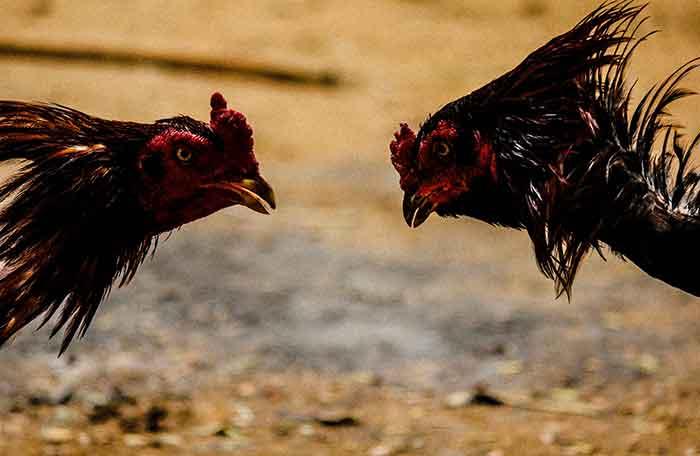 15 Cara Melatih Ayam Agar Tidak Main Bawah
